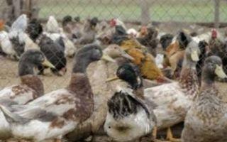 Как сделать насадку для ощипывания птиц?